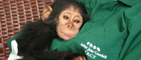 Una cría de chimpancé recién llegada al centro. | IJG