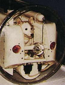 La perra Laika, en su habitáculo del 'Sputnik-2'. | NASA