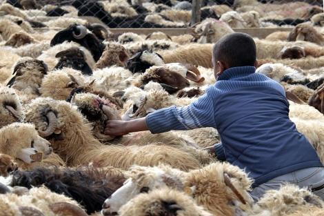 Un niño se mueve entre un rebaño de carneros en Amman. | Afp