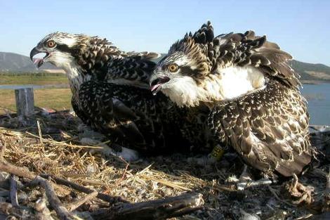 Una pareja de águilas pescadoras en el Campo de Gibraltar. | Migres
