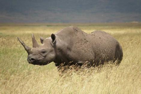Rinoceronte negro occidental, recién declarado extinto. | IUCN / Efe
