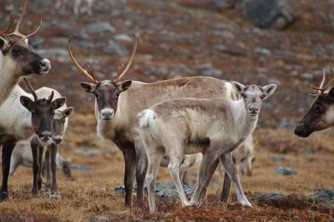 El rebaño de George River recorre la gran tundra de Quebec y Labrador. | Joelle Taillon/Survival