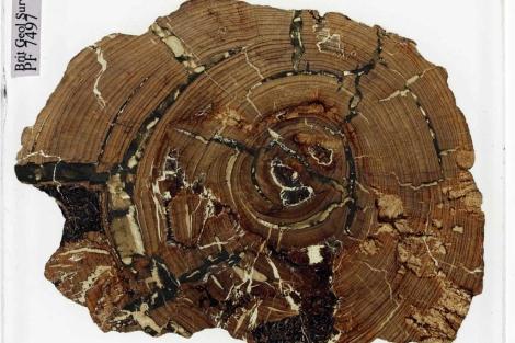 Fragmento de madera fosilizada encontrado en un cajón tras 168 años. |BGS