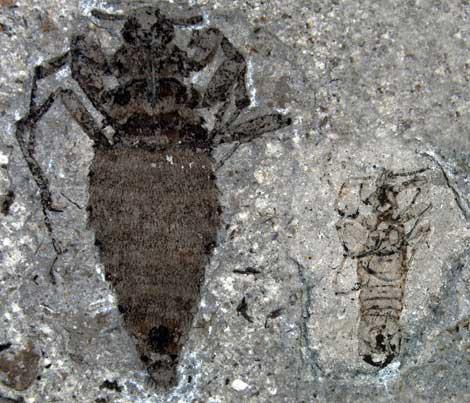 Fósil de una hembra de pulga gigante (izquierda), y un macho. | Nature