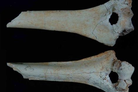 Húmeros de 'Homo antecessor' encontrados en Atapuerca.| CENIEH