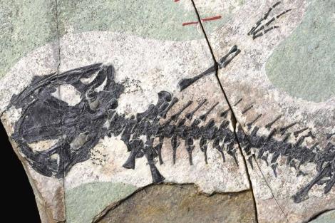 Fósil de la salamandra jurásica encontrada en Lianoning.  PNAS