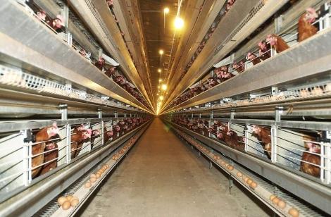 Corral de gallinas ponedoras | Carlos Arranz