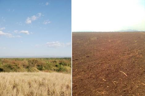 Área en la que viven los bodi, antes y después de ser 'preparada' para cultivar. | Survival
