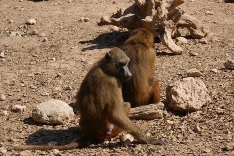 Uno de los babuinos que participó en el experimento. | Science