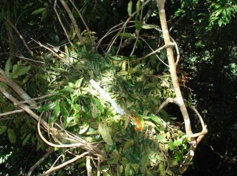 Nido de un orangutan en el Parque Gunung Leuser. |PNAS