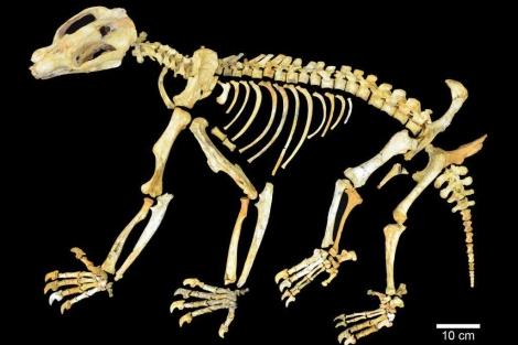 Esqueleto de 'Nimbadon lavarackorum'. | AFP