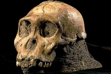 Cráneo de un 'Australopithecus', de hace casi tres millones de años.| 'Science'