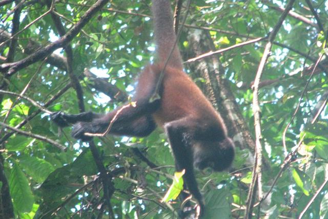 Un mono araña en el Parque Nacional de Corcovado (Costa Rica). | Pablo Herreros