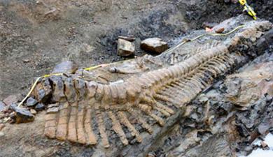 Vista general de la cola del dinosaurio.   Afp