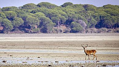 Un ciervo se pasea por un espacio abierto en Doñana. | Efe