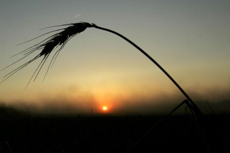 El trigo es uno de los cereales que contiene gluten. | Ap